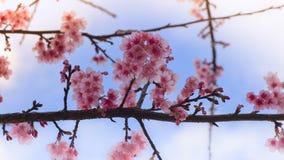 Roze Wilde Himalayan-Kersenbloem Royalty-vrije Stock Foto's