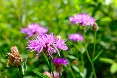 Roze Wildflower Royalty-vrije Stock Foto