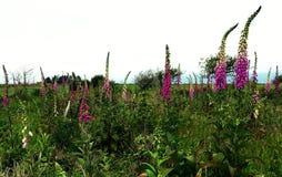 Roze Wildflowers Royalty-vrije Stock Afbeelding