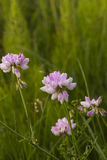 Roze Wildflowers Klaver roze bloemen Roze bloemen in weide Bleke klaverhybridum - roze bloemen Stock Fotografie