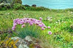 Roze wildflowers op de kust van Cornwall royalty-vrije stock afbeelding