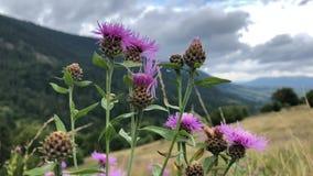 Roze wildflowers op een achtergrond van berglandschap stock video