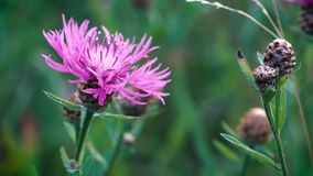 Roze wildflowers slingerden lichtjes in de lichte de zomerwind in de weide De close-up van de bloem stock footage