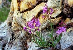 Roze Wilgeroosje, Tuolumne-Weiden, het Nationale Park van Yosemite stock afbeeldingen