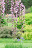 Roze wisteria Royalty-vrije Stock Afbeeldingen