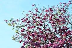 Roze, wit, bloem van het Wensen van boom, de Boom van kassieboombakeriana craib, Stock Foto's