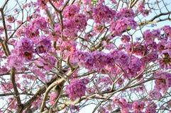 Roze, wit, bloem van het Wensen van boom, de Boom van kassieboombakeriana craib, Stock Foto