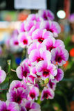 Roze-witte Dendrobium-Orchidee Royalty-vrije Stock Afbeeldingen