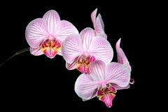 Roze Witte en Gele Orchideeën stock foto