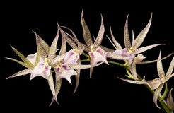 Roze Witte en Groene Orchidee op Zwarte Achtergrond. Royalty-vrije Stock Afbeeldingen