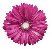 Roze-witte gerberabloem, wit geïsoleerde achtergrond met het knippen van weg close-up Geen schaduwen Voor ontwerp Royalty-vrije Stock Foto's