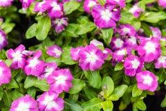 Roze Witte waterkersbloemen Stock Foto's