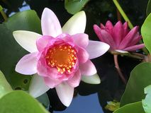 Roze zachte Waterlelie, pastelkleur royalty-vrije stock afbeeldingen