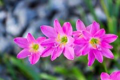 Roze zephyranthescarinata op een aardachtergrond Stock Fotografie