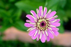 roze zinia stock afbeeldingen