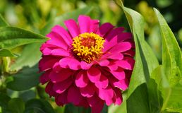 Roze Zinnia Royalty-vrije Stock Fotografie