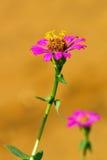 Roze Zinnia stock afbeeldingen
