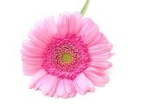 Roze Zinnia Royalty-vrije Stock Foto's