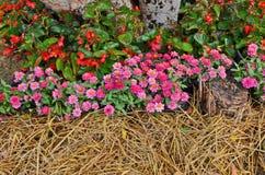 Roze Zinnia en rode begoniabloemen stock foto