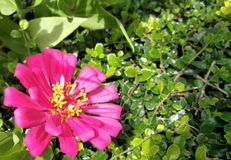Roze Zinnia Flower Blooming in Thailand royalty-vrije stock afbeelding