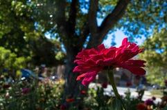 Roze Zinnia in tuin Royalty-vrije Stock Afbeeldingen