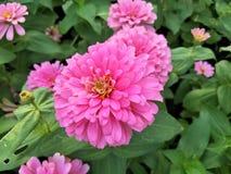 Roze zinnias zijn bloeiend stock afbeelding