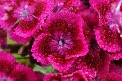 Roze Zoet William Flowers met Waterdalingen Stock Foto's