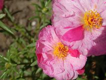 Roze zonnewijzerbloemen Royalty-vrije Stock Foto's