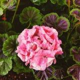 Rozeachtige bloem royalty-vrije stock foto