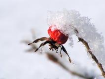 Rozebottel in sneeuw 1 Stock Foto