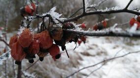 Rozebottel in sneeuw Royalty-vrije Stock Afbeeldingen