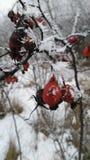 Rozebottel in sneeuw Stock Foto