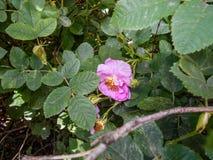 Rozebottelbloemen in bloesem Warme zonnige dag stock afbeeldingen