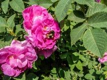 Rozebottelbloemen in bloesem Warme zonnige dag De bij vloog aan briar royalty-vrije stock fotografie