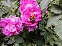 Rozebottelbloemen in bloesem Warme zonnige dag De bij vloog aan briar royalty-vrije stock foto's