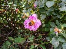 Rozebottelbloemen in bloesem Warme zonnige dag De bij vloog aan briar stock afbeeldingen