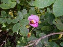 Rozebottelbloemen in bloesem Warme zonnige dag De bij vloog aan briar stock foto's