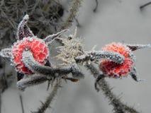 Rozebottelfruit met vorstkristallen De installatie bevroor op een ijzige dag Details en close-up stock foto's