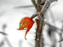 Rozebottelfruit met vorstkristallen De installatie bevroor op een ijzige dag Details en close-up stock fotografie