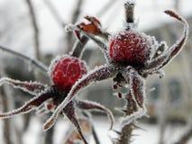 Rozebottelfruit met vorstkristallen De installatie bevroor op een ijzige dag Details en close-up royalty-vrije stock afbeelding