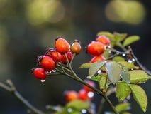Rozebottels in de Herfst, bokeh de achtergrond van de Herfstkleuren Royalty-vrije Stock Foto
