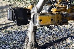 Rozedrgana maszyna w drzewie oliwnym Zdjęcia Royalty Free