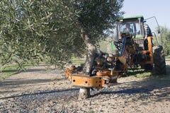 Rozedrgana maszyna w drzewie oliwnym, oliwna kompilacja mechan Obraz Stock