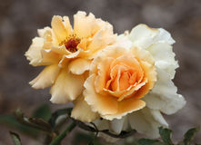 rozen Royalty-vrije Stock Fotografie