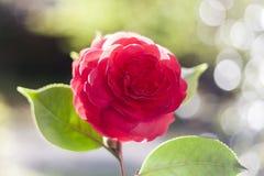 rozen Royalty-vrije Stock Foto