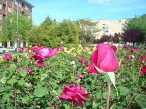 rozen Royalty-vrije Stock Afbeeldingen