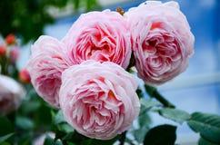 rozen royalty-vrije stock foto's