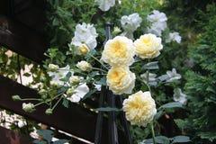 rozen stock foto