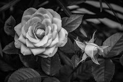 rozen Boeket van rozen Nam toe en nam knop toe royalty-vrije stock afbeelding