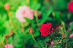Rozen in de gefiltreerde tuin Royalty-vrije Stock Fotografie